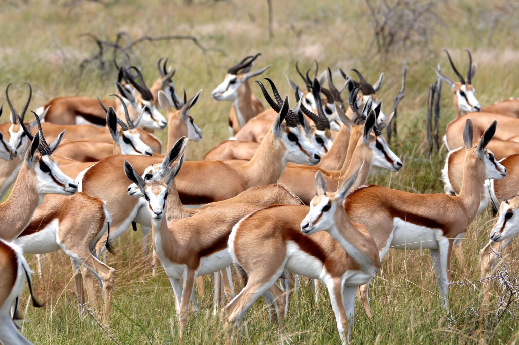Etosha Springbok