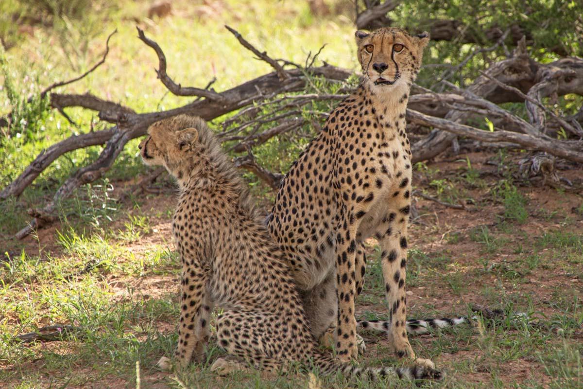 Cheetah Mom and Cub Kgalagadi