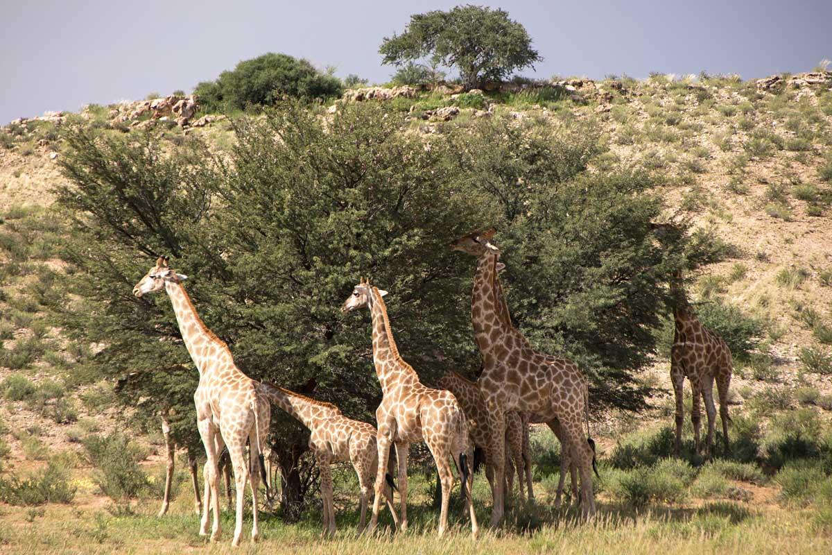 Kgalagadi Giraffe Familly