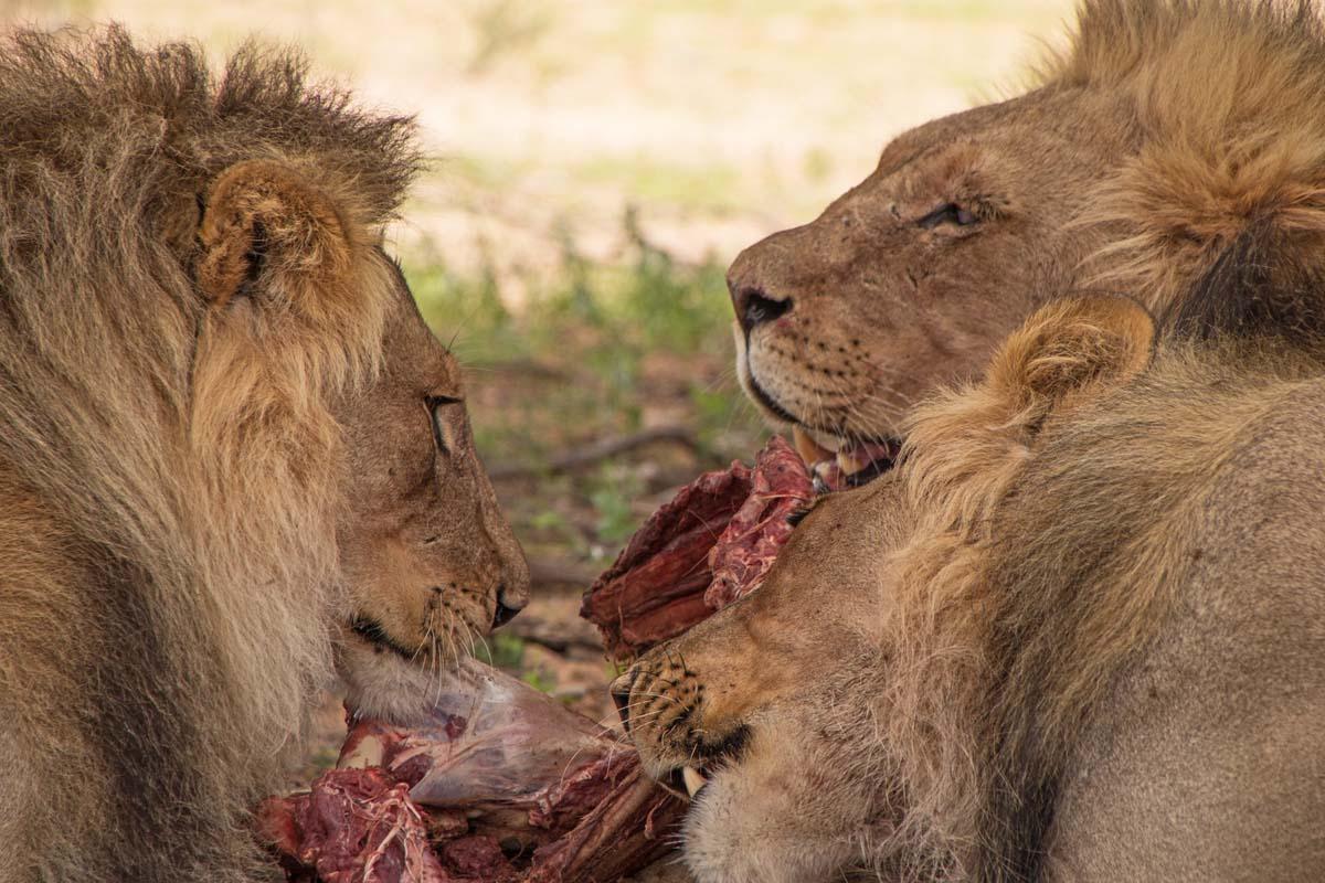 Lions Feeding Kgalagadi